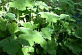 Pelargonium tomentosum 0zz.jpg