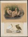 Pelecanus onocrotalus - 1700-1880 - Print - Iconographia Zoologica - Special Collections University of Amsterdam - UBA01 IZ18000159.tif