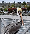 Pelican (15715018910).jpg