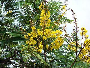 Peltophorum dubium - Flowers of Peltophorum dubium.