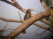 Penelopides manillae -Luzon Tarictic Hornbill-8.jpg