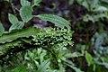 Peperomia emarginella (Piperaceae) (30057086901).jpg