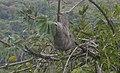 Pereza (Bradypus tridactylus) La Boyera, Miranda - Venezuela 000.jpg