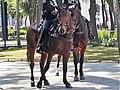 Perissodactyla - Equus caballus - 58.jpg