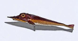 Armored searobin - Museum specimen of Peristedion species
