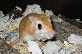 Wildlife of Egypt - The endemic pallid gerbil