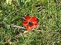 Persian Buttercup 05.jpg
