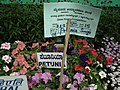 Petunia Single from Lalbagh flower show Aug 2013 8020.JPG