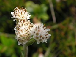 Pflanze Liuthalas 020709-2