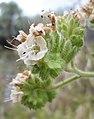 Phacelia ramosissima 2.jpg