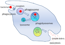 Image result for macrophage phagocytosis
