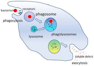 Phagosome - Phagocytosis of a bacterium, showing the formation of phagosome and phagolysosome
