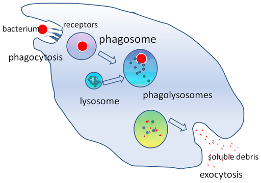 Phagocytosis, macrophage, phagosome, exocytosis, endocytosis, lysozyme