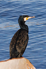 Phalacrocorax carbo Austins Ferry 2.jpg