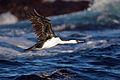 Phalacrocorax fuscescens - SE Tasmania.jpg