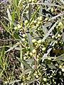 Phillyrea angustifolia. Grezu de fueya estrencho.jpg