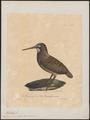 Philohela minor - 1825-1834 - Print - Iconographia Zoologica - Special Collections University of Amsterdam - UBA01 IZ17400333.tif