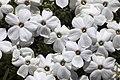 Phlox condensata - Flickr - aspidoscelis (1).jpg