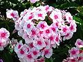 Phlox paniculata (bicolor cultivar) 01.JPG