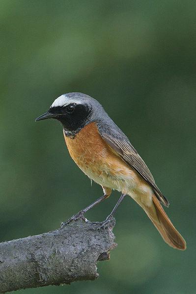 File:Phoenicurus phoenicurus male(js).jpg
