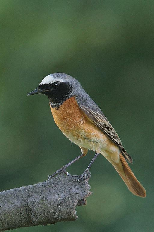Phoenicurus phoenicurus male(js)