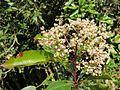 Photinia integrifolia at Mannavan Shola, Anamudi Shola National Park, Kerala (15).jpg