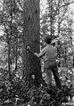 Photograph of a Ranger Marking a Tree for Cutting - NARA - 2129483.jpg