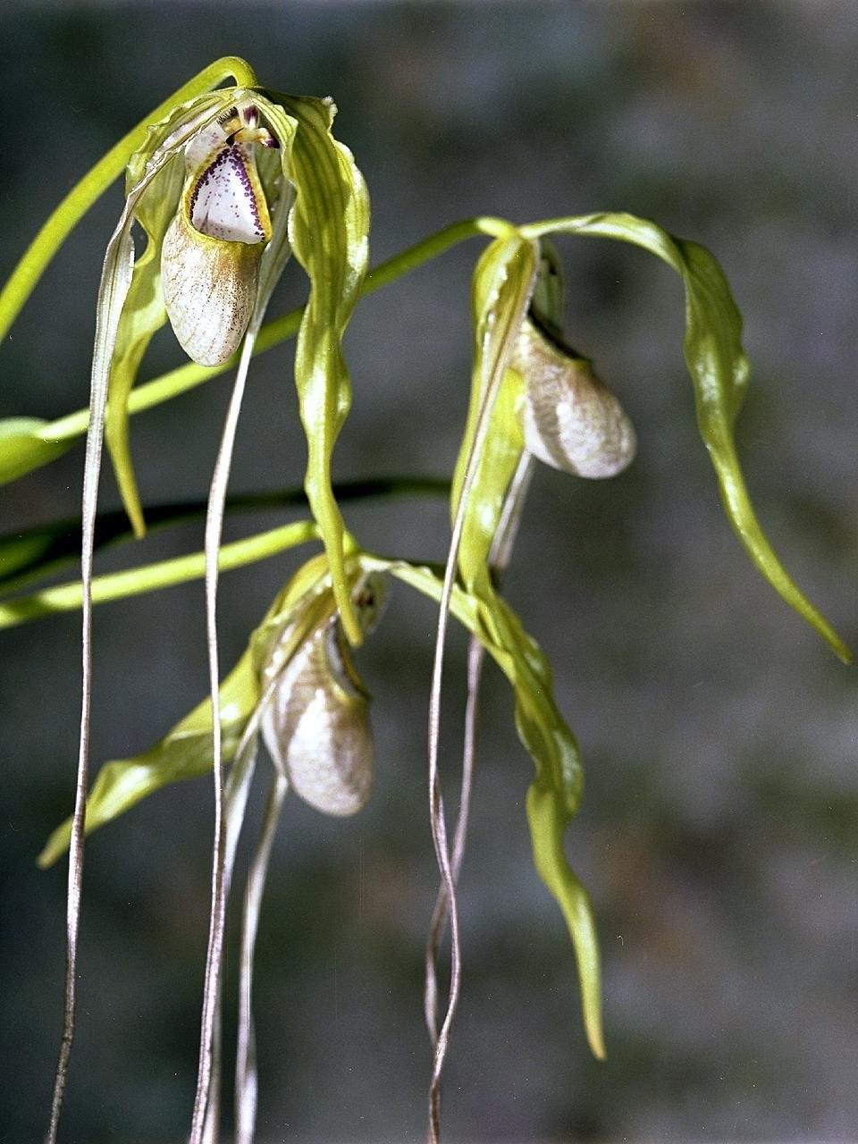 Phragmipedium caudatum Orchi 02