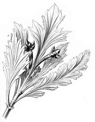 Phyllocladus aspleniifolius - Image: Phyllocladus aspleniifolius Haeckel