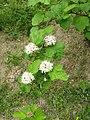 Physocarpus capitatus1.JPG