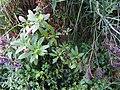 Phytolacca americana-1-badulla road-nuwara eliya-Sri Lanka.jpg