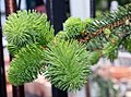Picea abies f. pendula 1zz.jpg