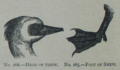 Picture Natural History - No 165 166 - Head and Foot of Smew.png