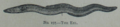 Picture Natural History - No 197 - The Eel.png