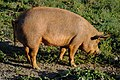 Pig at Sunset AFPG-3.jpg