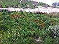 PikiWiki Israel 29706 Anemones blossom.JPG