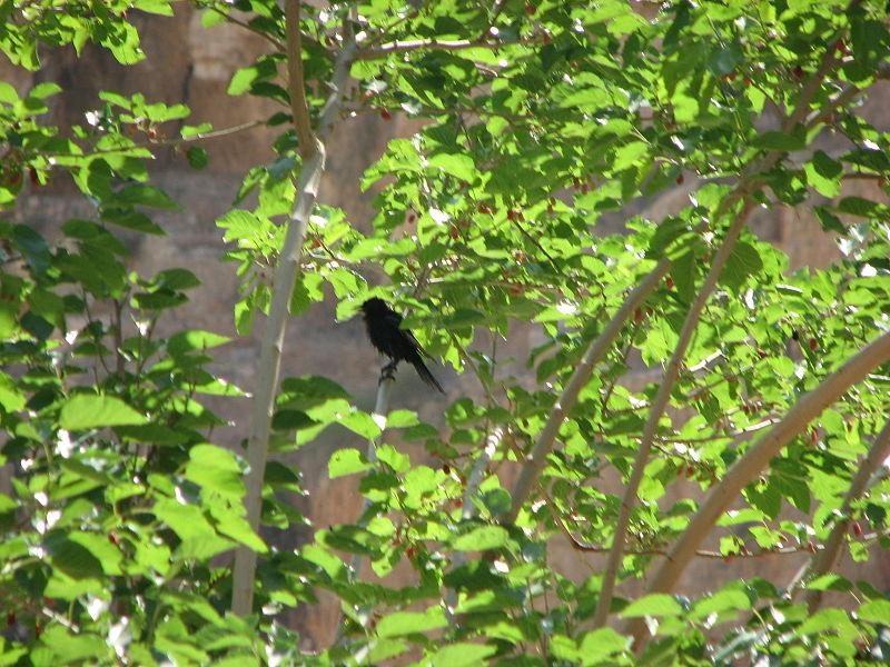 טריסטרמית נחבאת אל העצים