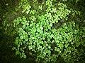Pilea victoriae.jpg