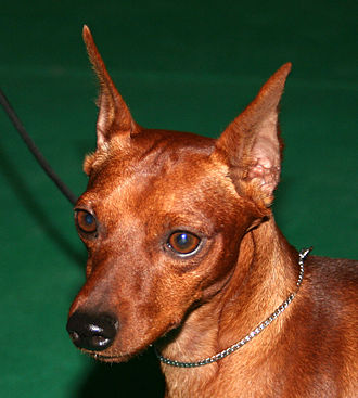 Miniature Pinscher - Miniature Pinscher with cropped ears