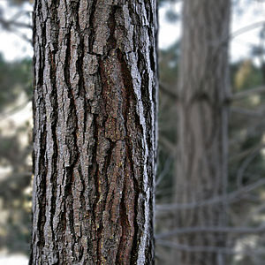 Pinus radiata - Detail of bark