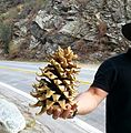"Pine cone from ""Camp Williams Resort"" in California USA.jpg"