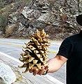 "Pine cone from ""Camp Williams Resort"" in California USA.jpg"