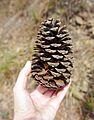 Pine cone on hand.jpg