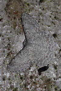 Pingasa chlora (Geometridae Geometrinae).jpg
