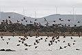 Pink-eared Ducks (20425766213).jpg