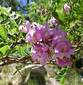 Pink Locust (Robinia neomexicana) - Flickr - gailhampshire.jpg