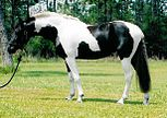 Pinto sport horse mare.jpg