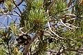 Pinus edulis - Flickr - aspidoscelis (5).jpg