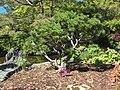 Pinus mugo Hobart Botanical 20171119-017.jpg