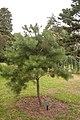 Pinus rigida, 2016-02-04.jpg